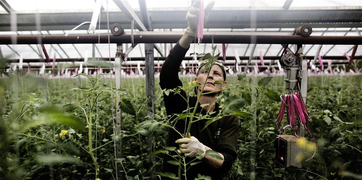 I nogle kommuner er det tæt på hver anden arbejdsløse, man sender ud i virksomheder som for eksempel gartnerier. I andre kommuner er det færre end hver tiende.