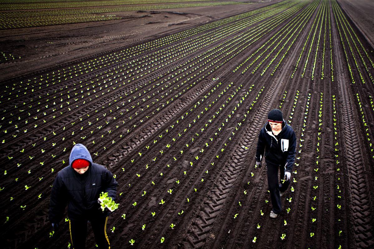 Østeuropæere i færd med at plante i gartneriet Månsson i Brande. De udgør ingen trussel mod det danske velfærdssystem, mener direktøren for ILO.