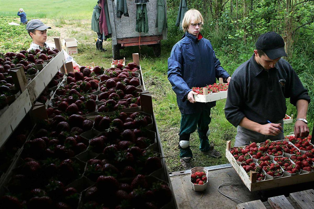 Polske arbejdere på jordbærplantage (arkivfoto). Inden for gartneribrug er polakkernes løn-efterslæb på mere end 5.000 kroner.